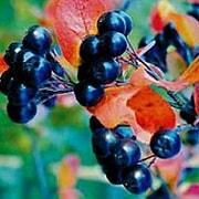 Черноплодная рябина. Лечебные свойства.