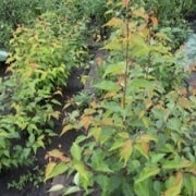 Маточный сад