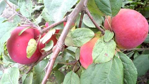 """Яблоня Мелба Красная в саду """"Моё садоводство"""""""