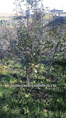 Груши в нашем саду