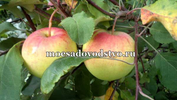Яблоня Заря Алатау