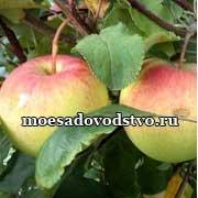 "Саженцы плодово - ягодных культур в саду ""Моё садоводство"""