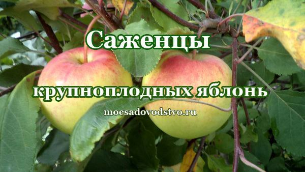 Саженцы плодово ягодных культур