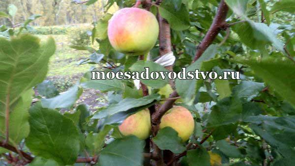 Яблоня ВЭМ жёлтый