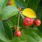 Яблоня Сибирка