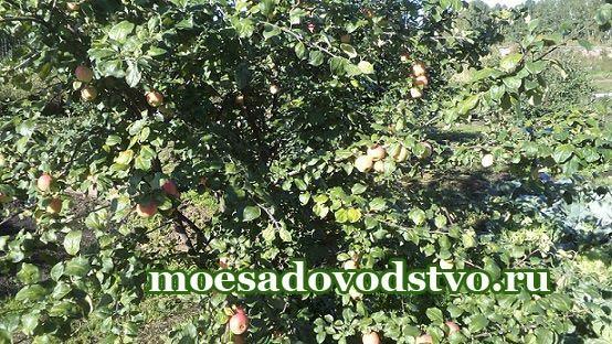 Яблоня Южноуральское