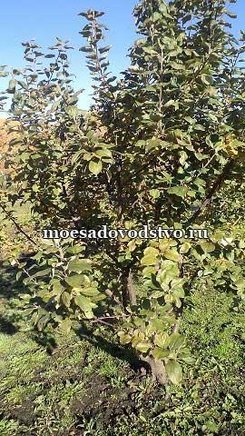 Яблоня Искорка в нашем саду