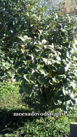 Яблоня Московское ожерелье в нашем саду