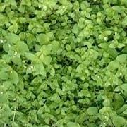 Мокрица трава лечебные свойства