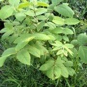 Орех маньчжурский в нашем саду
