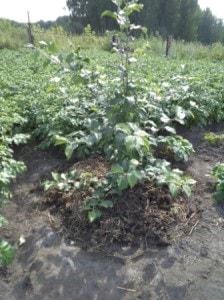 Формировка плодовых деревьев