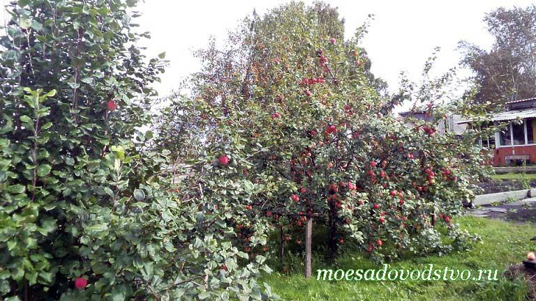 Плодовые деревья в нашем саду